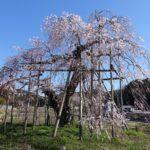 地球の歩き方滋賀特派員ブログに記事を投稿しました!(甲賀市・畑のしだれ桜)