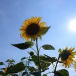 地球の歩き方滋賀特派員ブログに記事を投稿しました!(東近江市・ひまわり畑)